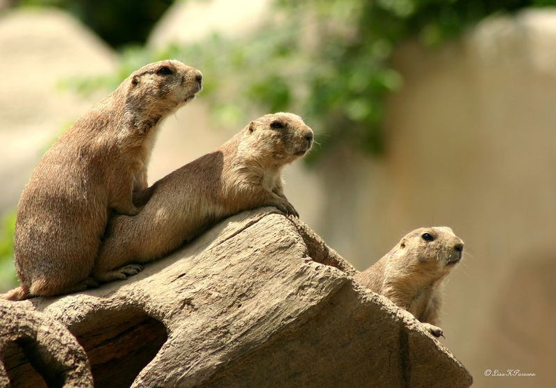 Prairie Dogs - Detroit Zoo, Michigan by Paw Prints Nature & Wildlife Photography