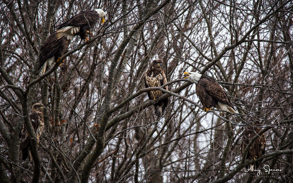 Eagles together in a tree