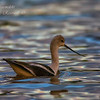 American Avocet.  Everglades National Park, South Florida.