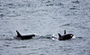 A baby killer whale (orcinus orca) is surfacing with a female close behind. there is also a third whale surfacing just behind the baby.