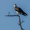Osprey awaits meal