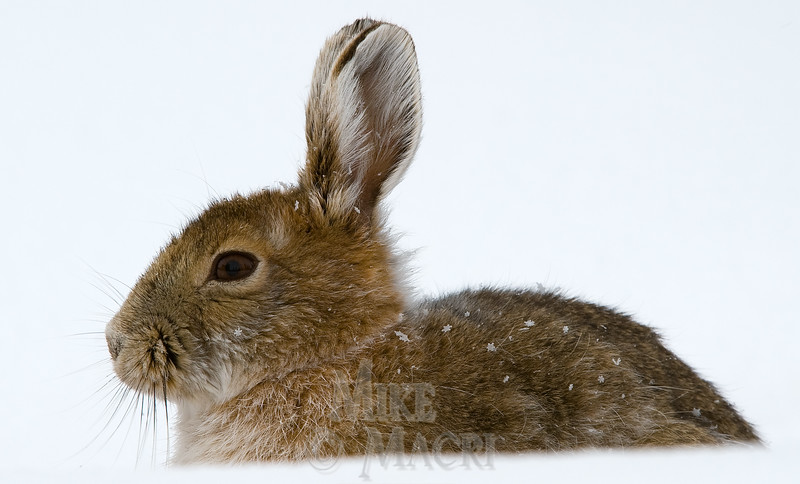 Snowshoe hare early spring, also called varying hare because of color variants through seasons.