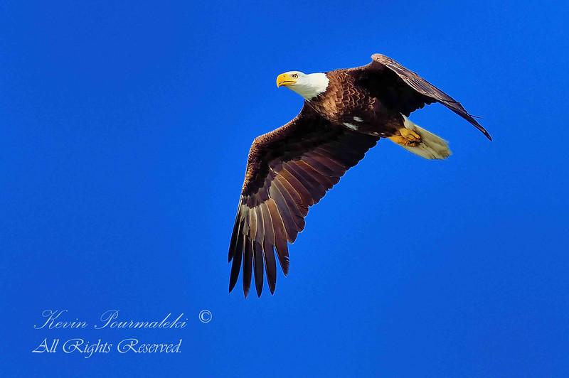 Bald Eagle.  Everglades National Park, South Florida.