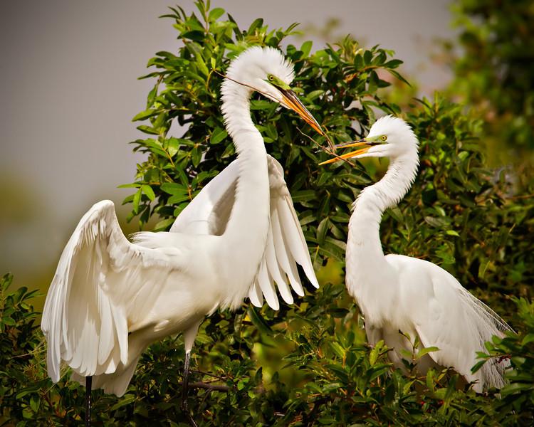 Great White Egret Couple Building a Nest