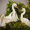 Great White Egret Couple Building a Nest