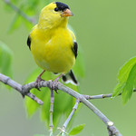 Gold Finch 01
