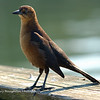 Young grackle, HHI, SC