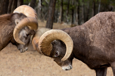Bighorn Sheep in Battle