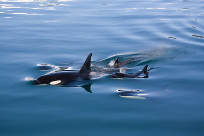 Pod of Orcas Breaking the Surface