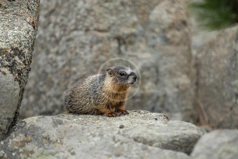 Marmot near Estes Park Colorado