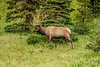 Bull ELk 8-3-18-1429