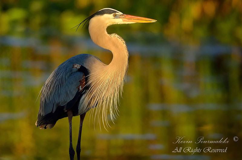 Blue Heron.  Everglades Park, South Florida.