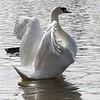 Swan stretch 05