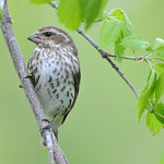 Purple Finch 05