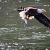 Eagle with big fish