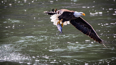 Eagle with big fish