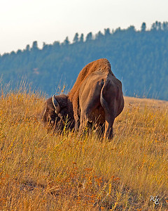 This image shows the unusual top line of a Bison bull.  National Bison Range, Montana