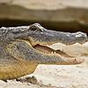 Sandy Alligator