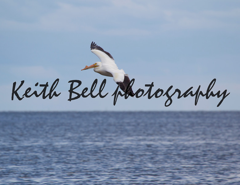American White Pelican Flying