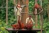 feeding station at Sepilok Orangutan sanctuary<br /> Sabah Malaysia