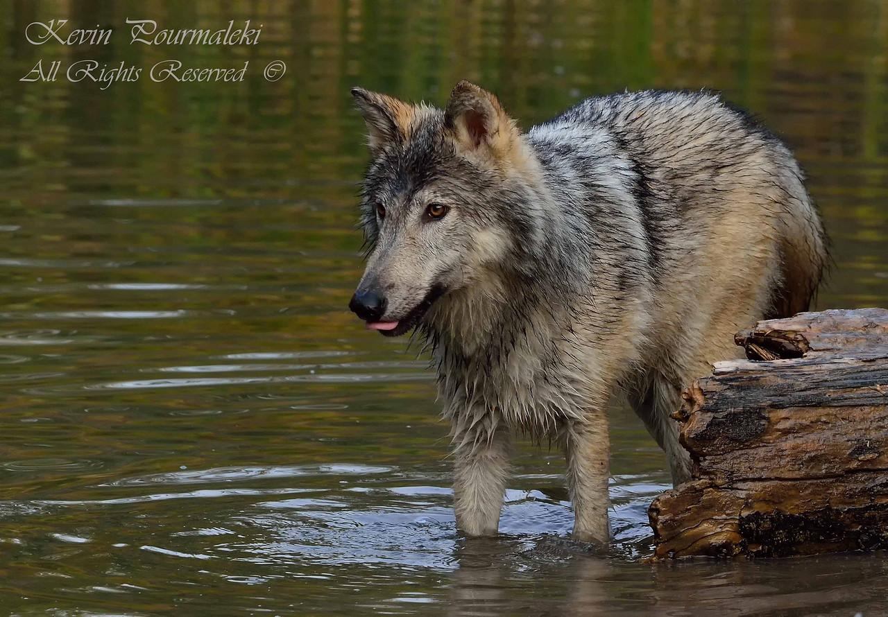Gray Wolf.  3D Ranch. Columbia Falls, Montana.