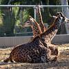 Giraffes, San Diego Zoo, San Diego, CA