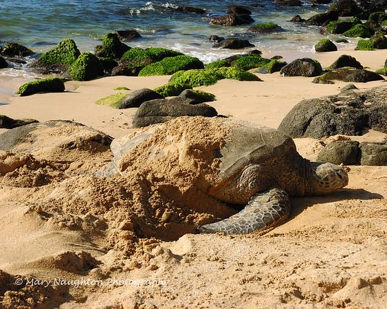 Sea Turtle, Oahu, Hawaii