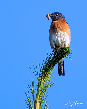 Male Bluebird with worm