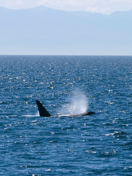 A single killer whale has just surfaced and, in one large exhaie, has created large spray from the water near its blowhole. This whale, from the shape of its fin, is a female.