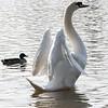 Swan stretch 02