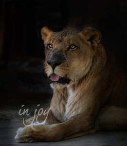 Lioness from the Shambala Big Cat Sanctuary in California.