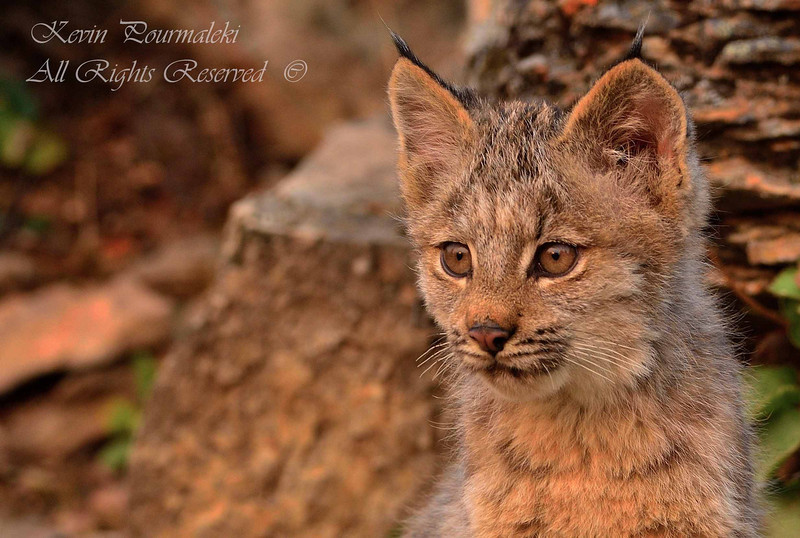 Lynx Cub.  Northern Montana.
