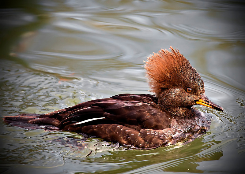 Female Hooded Merganser<br /> What a thrill to get this girl's picture!!!! :))