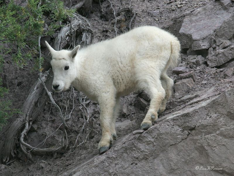 Montana Mountain Goat Kid  by Paw Prints Nature & Wildlife Photography