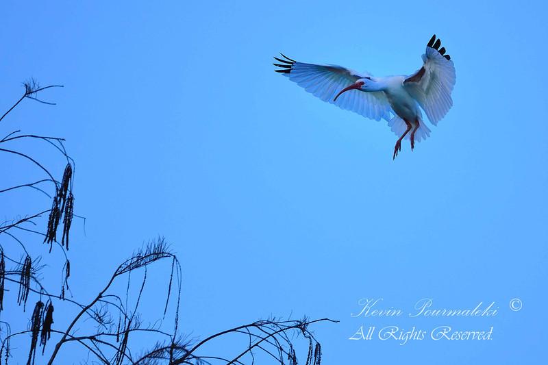 White Ibis, Chapel Trail Nature Preserve.  South Florida.