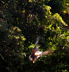 A Harris Hawk in flight.