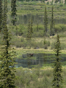 Male Moose in the Jasper area.  2007-06-01  .