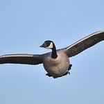 Canadian Goose 04