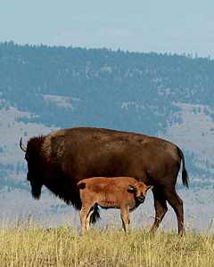 Bison Cow with Bull Calf, National Bison Range, Moise, MT.