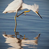 "Snowy Egret Dance<br /> to the song..<br /> ""I gotta itch"""