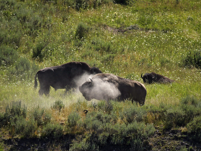 A buffalo in Yellowstone National Park shaking the dust off its back immediately after it rolled around in its wallow. The cloud of dust helps outline the horns of the huge beast.