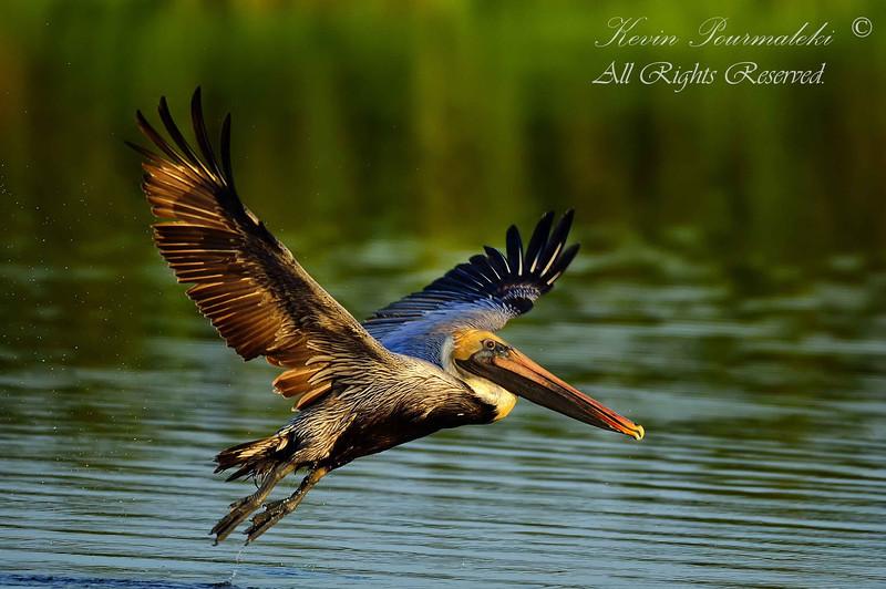 Brown Pelican.  Everglades National Park, South Florida.