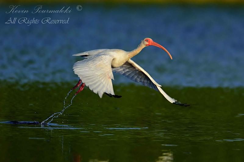 White Ibis.  Everglades National Park, South Florida.