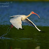 White Ibis.  Everglades National Park, South Florida.