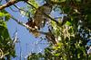 Juvenile climbing onto branch and loosing balance - Part 3
