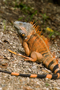 Mature male Iguana in Cayo, Belize.