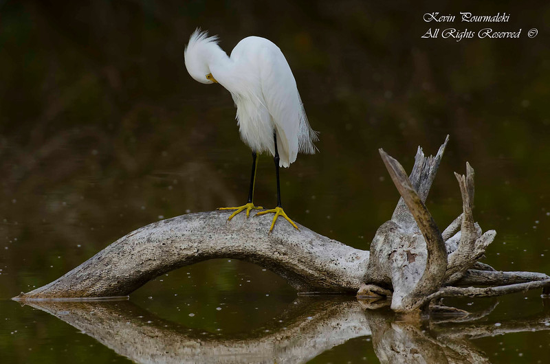 Snowy Egret. Everglades National Park, South Florida.