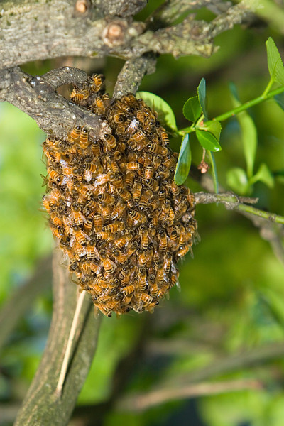This spring, a small swarm of honey bees started to build a nest in a tree near our house. Before we had it removed by a beekeeper, several hundred of them clumped together in this ball as they busily started work on finishing their search and migration to a more permanent home.