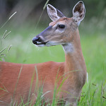 Whitetailed Deer 02
