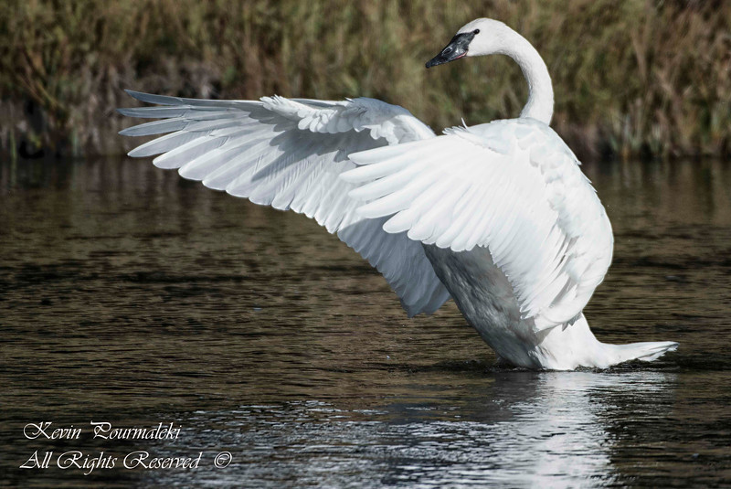 Trumpeter Swan. Yellowstone National Park, Montana.